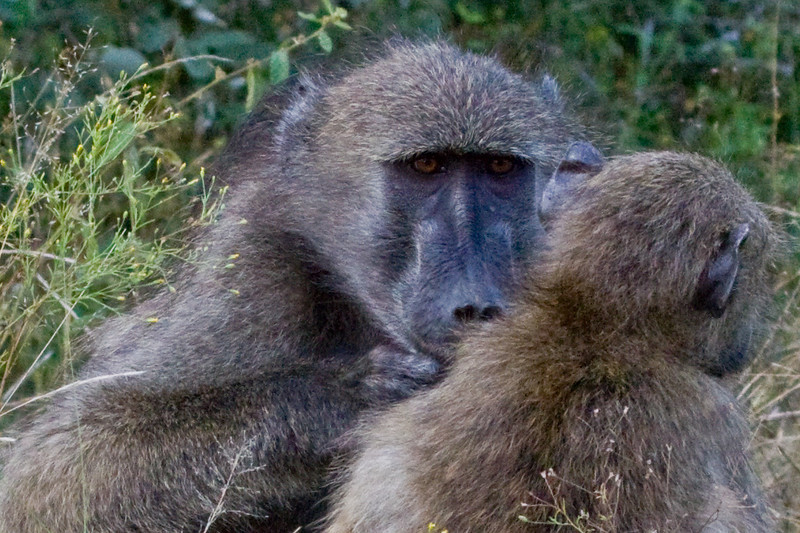 Mama baboon grooming her baby