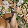 Female Impala, those are some ears !