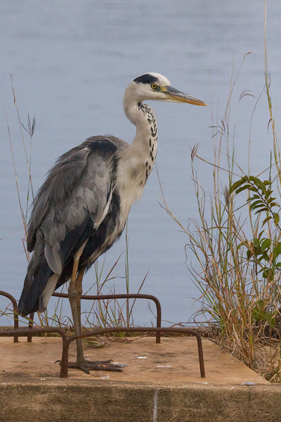 I really need help with these herons, this looks like a grey heron as well but its head is white unlike the others.