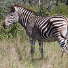 Burchell's Zebra, always one of my favorite animals.