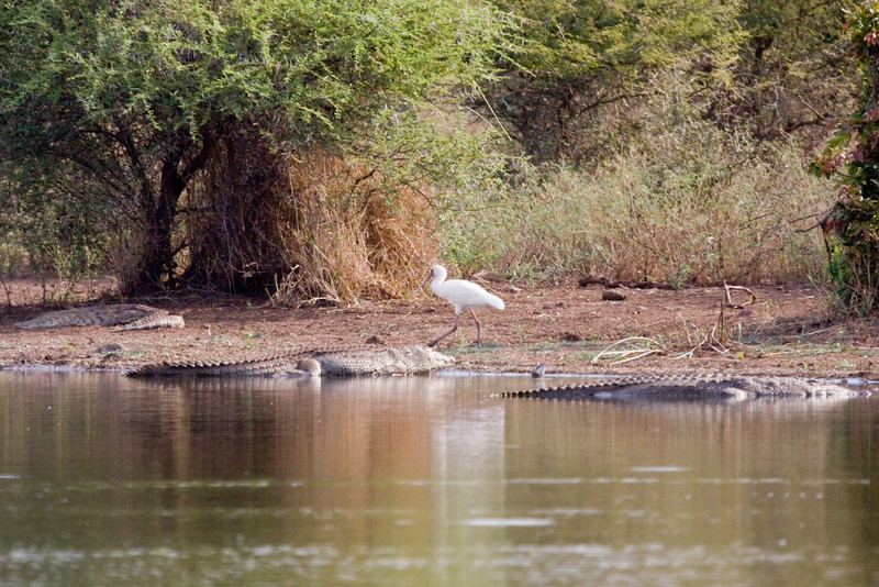 A White Egret (?) brave guy...