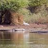 A White Egret (?) brave guy...
