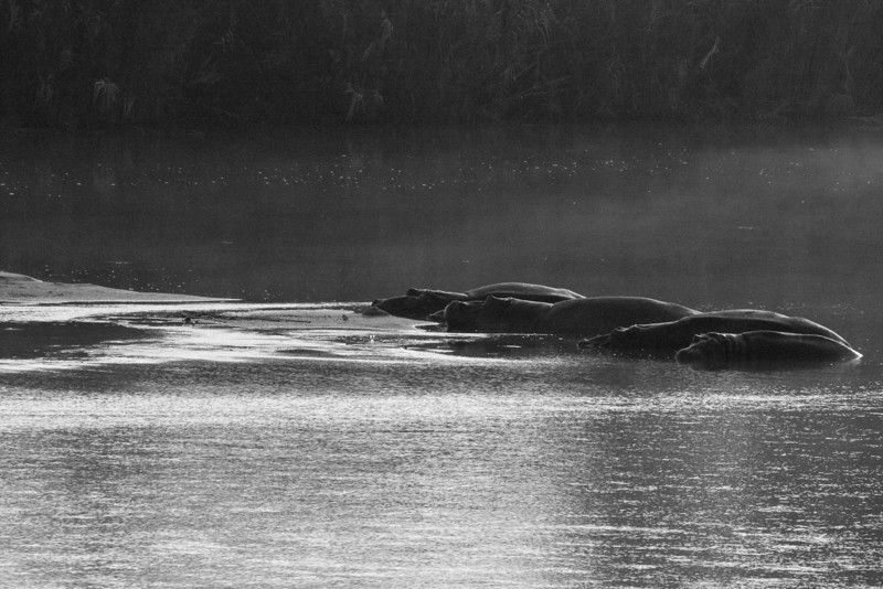 Hippos in the mist at Lower Sabie.  We awoke in our bungalow to their morning calls.