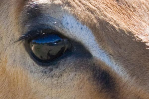 Impala Eye with Reflection