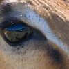 Impala Eye with Reflection