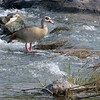 Hippo Pools : Egyptian Goose