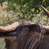 Muddy Wildebeest horns