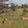Lone male impala with his harem