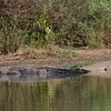 A couple crocs sunbathing with a little duck (?) peeking out from the brush
