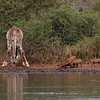 Giraffe drinking along side a family of warthogs