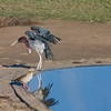 Marabou Stork and Egyptian Goose
