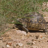Speke's Hinged Tortoise ?