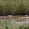 Hippos close to Lower Sabie