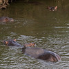 Ntandanyathi Hide, back with the hippos.  A baby sticks close to mom.