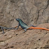 Colorful lizards at Hippo Pools