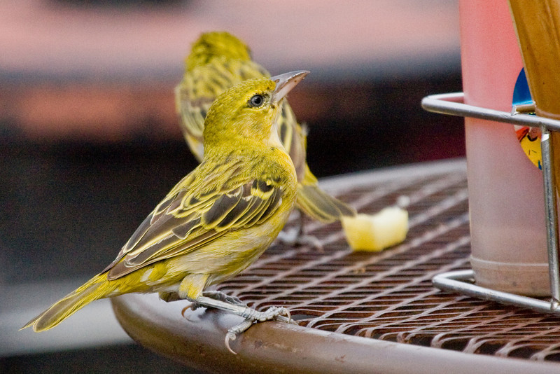 Brimstone Canary (I think).  He liked to try and steal french fries.