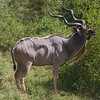Male Kudu, those are some horns.