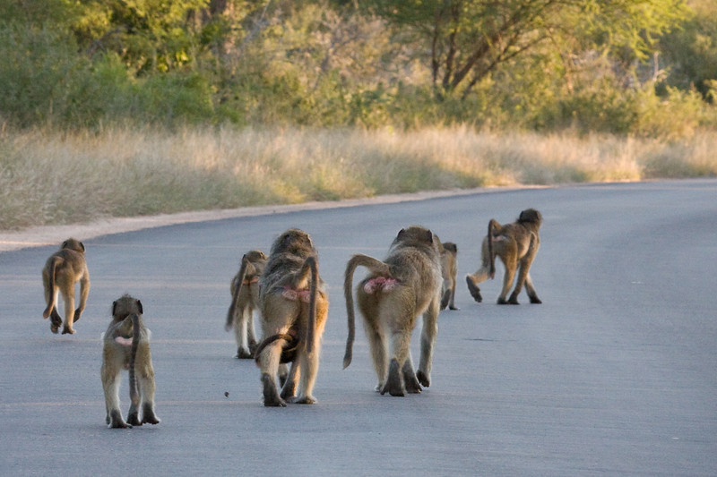 Baboons on the road at dusk.  These guys can be very naughty and you need to be very careful around them.  If they start to get close to the car you need to put your windows up or they will get in the car and cause a lot of problems.