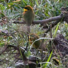 Possibly a Little Bee-eater ?