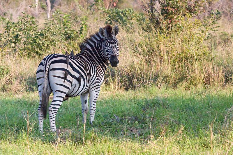 Zebra and his oxpecker friends