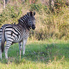Zebra and his oxpecker friends