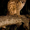 Spotted Genet (we had one in camp a couple nights as well !)