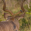 Male Kudu Horns