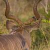 Male Kudu Horns