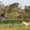 Zebra with an impala running by