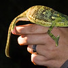 Chameleon, our guide picked him out of the tree and we got to hold him.  They need to be replaced onto the same tree as they are very territorial.