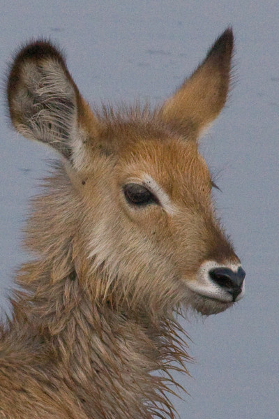 Baby Waterbuck, sniff