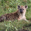 Hyena in wait.