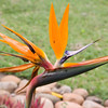 Bird of Paradise flower in camp