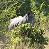 The Rhinos were fairly weary of us and they were hard to photograph in the thick bush