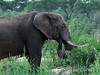 Elephant-chowing-down-on-the-fresh-grass-after-the-spring-rains,-Ngala,-South-Africa