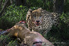 Cheetah-feeding-on-impala-carcass-1