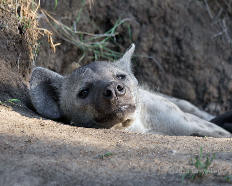 Portrait-of-a-juvenile-hyena-lying-at-the-opening-to-its-den,-Ngala,-South-Africa