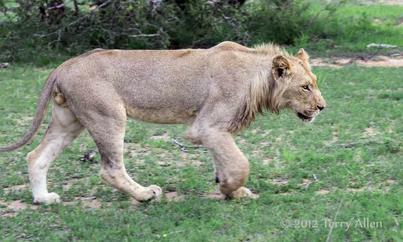 Young-male-liion-running-trhought-a-clearing,-Ngala,-South-Africa