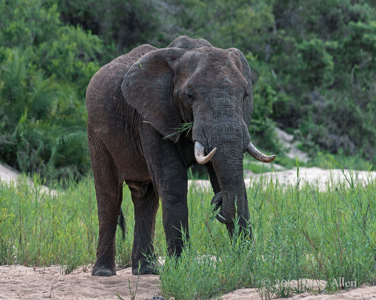 Elephant-grabbing-a-trunk-full-of-fresh-grass-1,-Ngala,-South-Africa
