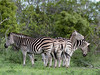 Zebras-and-oxpeckers,-Ngala,-South-Africa