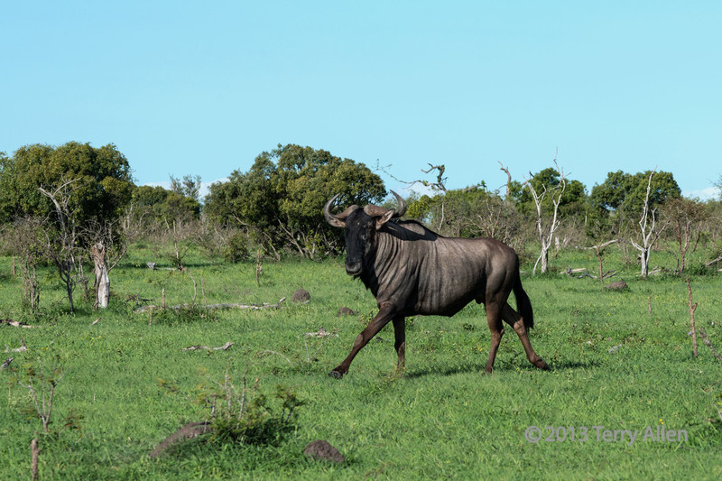 Running-blue-wildebeest,-Ngala,-South-Africa