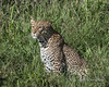 Alert-leopard,-Ngala,-South-Africa