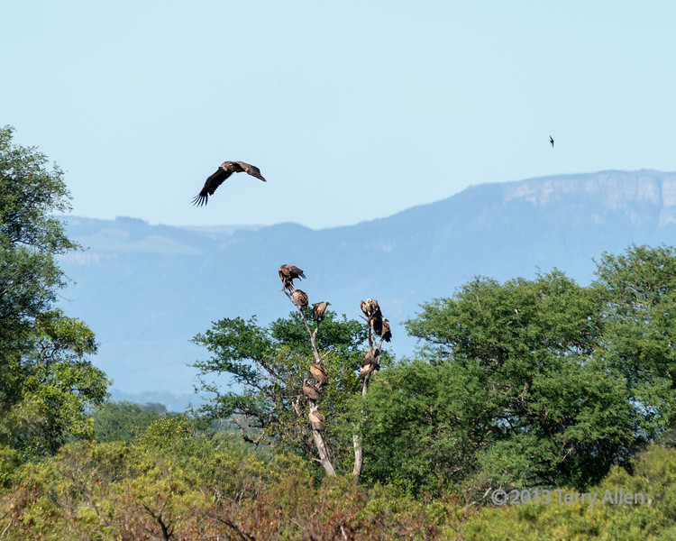 Vultures-hanging-out-waiting-to-attack-a-cheetah's-impala-carcass,-Ngala,-South-Africa