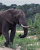 Elephant-grabbing-a-trunk-full-of-fresh-grass-2-Ngala,-South-Africa