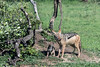 """Hey Ma, got any food for me?""<br /> Mother-jackel-with-pup-at-den,-Ngala,-South-Africa"
