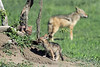 Pair-of-jackel-pups-at-their-den,-Ngala,-South-Africa