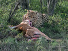 Cheetah-tearing-meat-from-impala,-Ngala,-South-Africa<br /> <br /> This may look gory, but, as can be seen in the other photos in this gallery, an entire community is dependent on the cheetah's kill