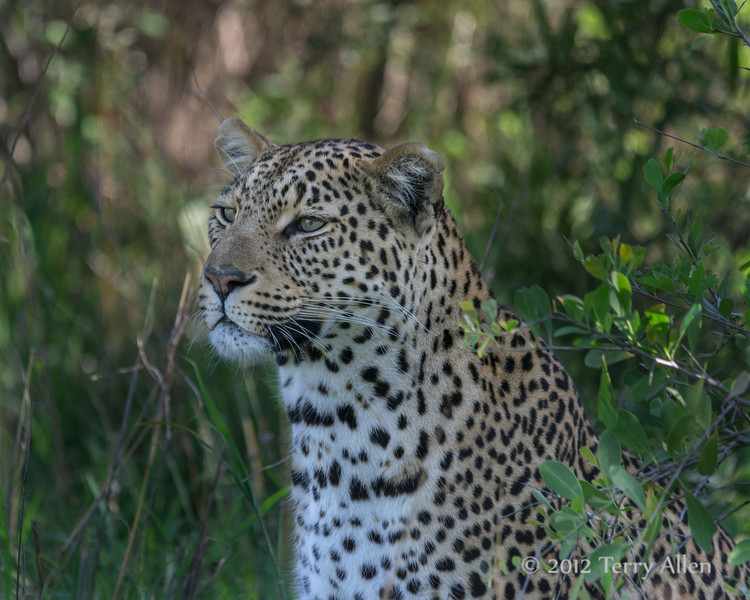 Young-leopard-in-the-bushes,-Ngala,-South-Africa