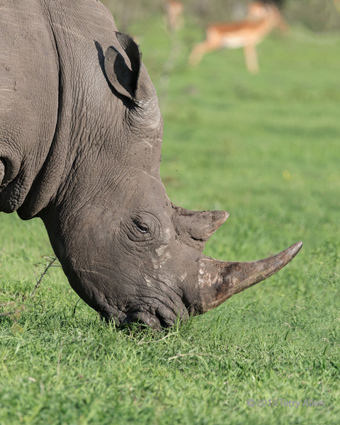 White-rhino-close-up,-Ngala,-South-Africa