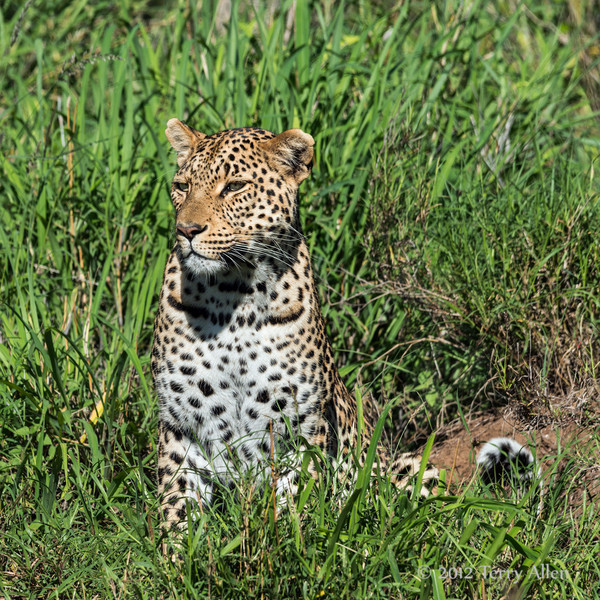 Young female leopard resting in tall grass, Ngala, South Africa<br /> <br /> Last month on safari in South Africa, this young female came out of the bushes into the open just long enough to get a good shot